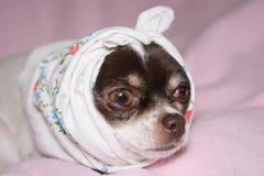 Chihuahua enferma Fotografía de archivo libre de regalías