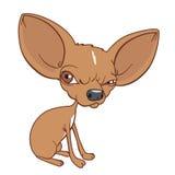 Chihuahua enojada Fotos de archivo libres de regalías