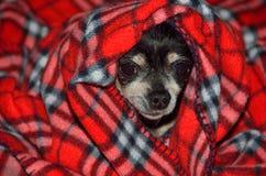 Chihuahua envuelta en manta de la tela escocesa Imágenes de archivo libres de regalías