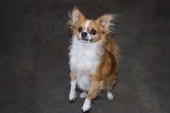 Chihuahua ereta Fotografia de Stock