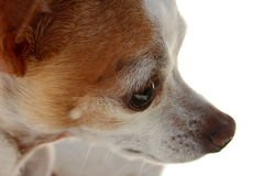 Chihuahua Eye. Cute little face of a Chihuahua with selective focus on the eye. White background Royalty Free Stock Image