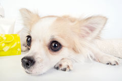 Chihuahua eyes close-up Royalty Free Stock Image
