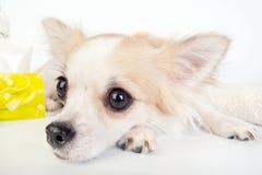 Chihuahua eyes close-up Royalty Free Stock Image