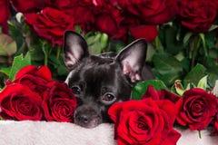 Chihuahua för svart hund med den röda rosen Arkivbild