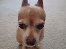 Chihuahua Face. Chihuahua sitting on carpet looking straight ahead Stock Photos