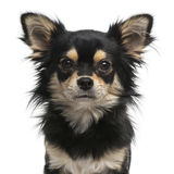 Chihuahua facing at the camera Stock Images