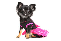 Chihuahua in fashionable dog dress Stock Image