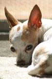 Chihuahua faticosa a colori 1 Fotografia Stock