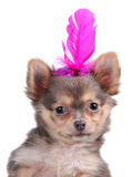 Chihuahua in a feather hat Stock Photos