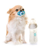 Chihuahua and feeding bottle Stock Photography