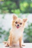 Chihuahua feliz Imágenes de archivo libres de regalías