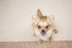 Chihuahua feliz Imagenes de archivo