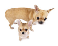 Chihuahua female dog with puppy Stock Images
