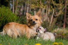 Chihuahua femenina con el perrito fotografía de archivo