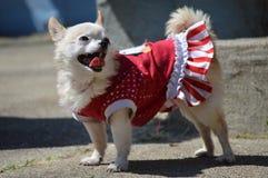 Chihuahua festiva feliz fotos de archivo