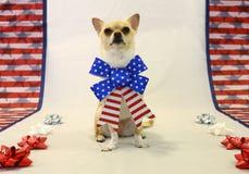 Chihuahua fiera Immagini Stock Libere da Diritti