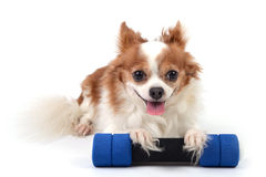 Chihuahua fitness Royalty Free Stock Photo