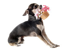 Chihuahua and flowers Stock Photo