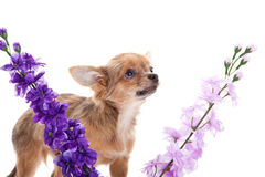 Chihuahua and flowers isolated on white background dog Stock Photography