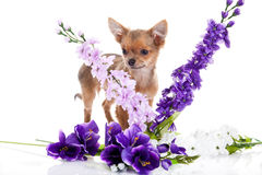 Chihuahua and flowers isolated on white background dog Stock Photos