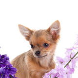 Chihuahua and flowers isolated on white background dog Royalty Free Stock Photo