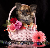Chihuahua and flowers. Miniature dog Royalty Free Stock Photos