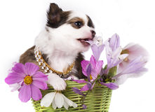 Chihuahua and flowers. On зpink background Stock Images