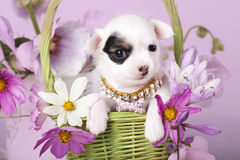 Chihuahua and flowers. On зpink background Royalty Free Stock Image