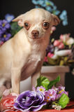 Chihuahua among the flowers Royalty Free Stock Images