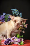 Chihuahua among the flowers Royalty Free Stock Photos