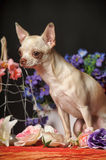 Chihuahua among the flowers Stock Photos