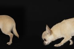 Chihuahua Following Another Dog Stock Photography