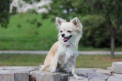 Chihuahua in foresta Fotografie Stock