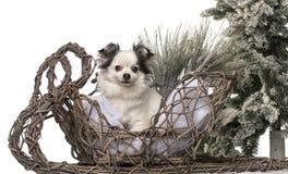 Chihuahua framme av ett jullandskap Royaltyfri Bild