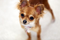 Chihuahua-Frau-Neugier Lizenzfreie Stockfotos