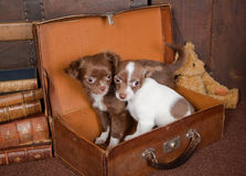 Chihuahua friends Royalty Free Stock Image