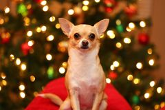Chihuahua in Front of Christmas Lights Royalty Free Stock Image