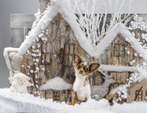 Chihuahua. In front of a Christmas scenery Stock Photos