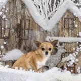 Chihuahua. In front of a Christmas scenery Stock Photo