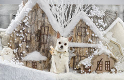 Chihuahua. In front of a Christmas scenery Royalty Free Stock Image