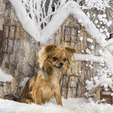 Chihuahua. In front of a Christmas scenery Stock Images