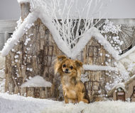 Chihuahua. In front of a Christmas scenery Royalty Free Stock Images