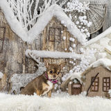 Chihuahua. In front of a Christmas scenery Royalty Free Stock Photo