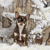 Chihuahua. In front of a Christmas scenery Stock Image