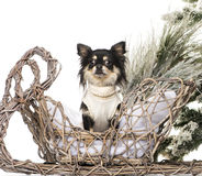 Chihuahua. In front of a Christmas scenery Royalty Free Stock Photography