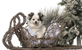 Chihuahua in front of a Christmas scenery Royalty Free Stock Image