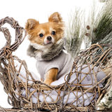 Chihuahua. In front of a Christmas scenery isolated on white Stock Photography