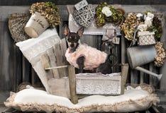 Chihuahua Royalty Free Stock Photos