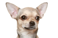 Chihuahua in front of a white background. Close-up chihuahua in front of white background royalty free stock photography
