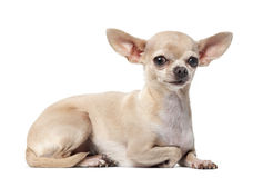 Chihuahua in front of a white background Stock Photos